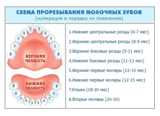 сроки прорезывания молочных зубов таблица