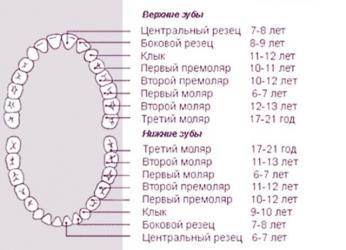 сроки прорезывания постоянных зубов таблица